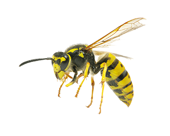 Common Yellowjacket