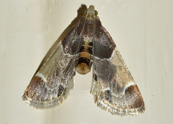 Pantry & Birdseed Moths