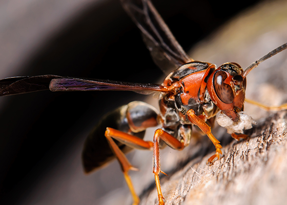 Red Wasps