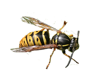 Aerial Yellowjacket