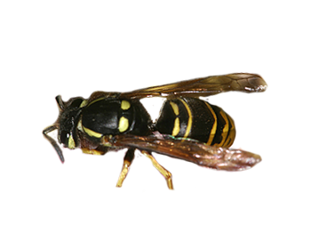 Northeastern Yellowjacket