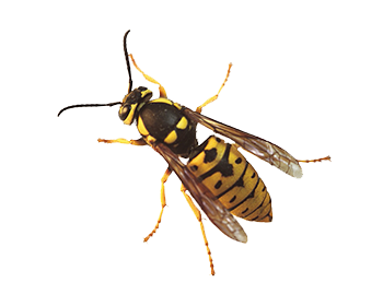 Prairie Yellowjacket
