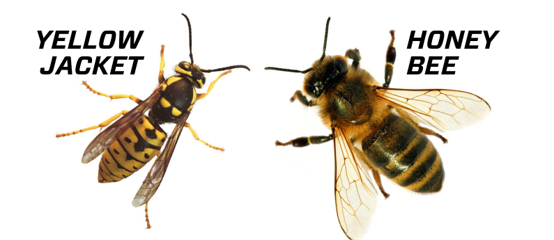 How to tell a yellowjacket from a honeybee