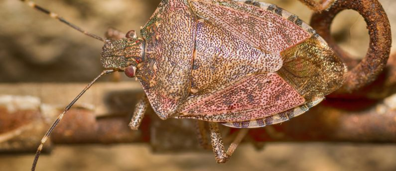 Stink Bugs: What to do now, what to do later