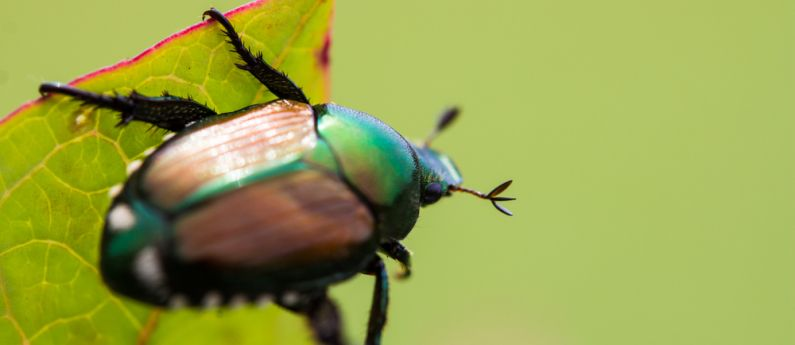 The myths and facts about trapping Japanese beetles