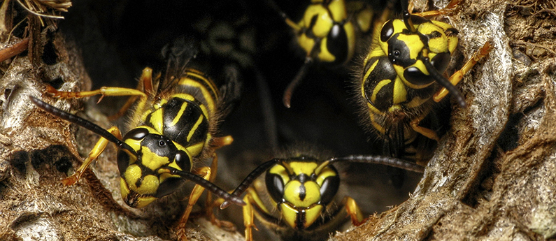 Why yellowjackets are most aggressive in fall