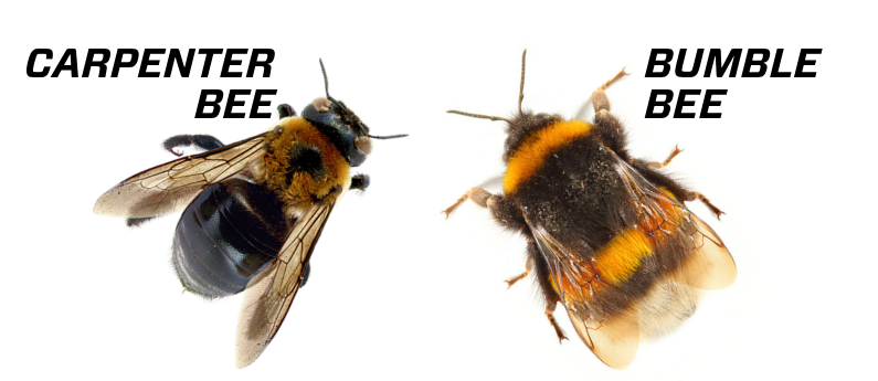 How to tell a carpenter bee from a bumblebee