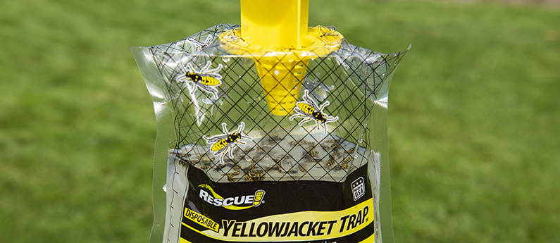 One day's catch in the Disposable Yellowjacket Trap