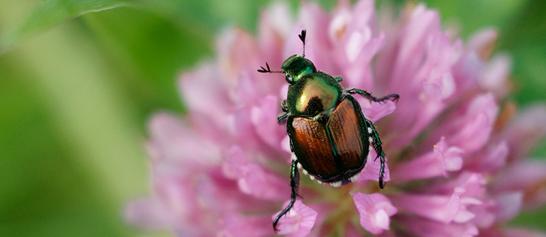 What do Japanese Beetles do to your yard?