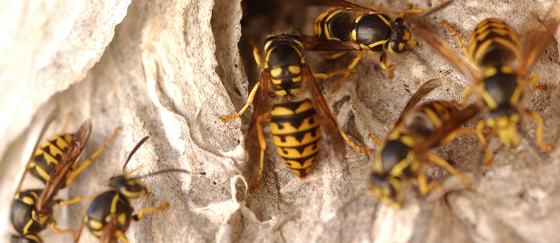 Six reasons not to mess with yellowjackets