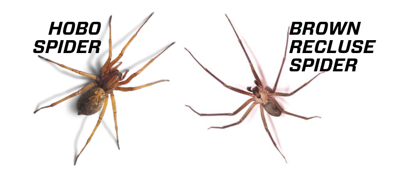 What S The Difference Between Hobo Spiders And Brown Recluse Spiders