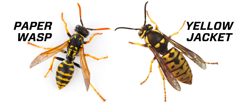 How to tell a wasp from a yellowjacket