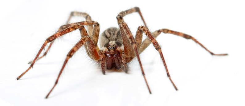 Oh no... it's the Hobo! (Hobo spider, that is)