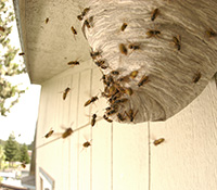 Yellowjackets are more aggressive than paper wasps. They defend their nest, but will also sting unprovoked.