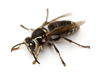 Bald-faced hornets are named for their white face coloration.