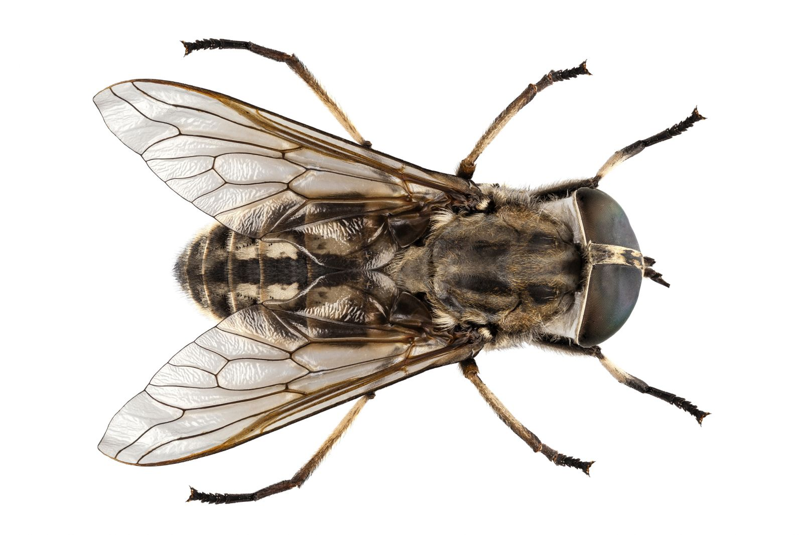 Horse fly