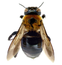 Carpenter bees have a fuzzy thorax and a shiny black abdomen.