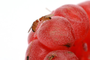 Fruit flies are a problem all year, but are especially common during late summer/fall because they are attracted to ripened or fermenting fruit and vegetables.