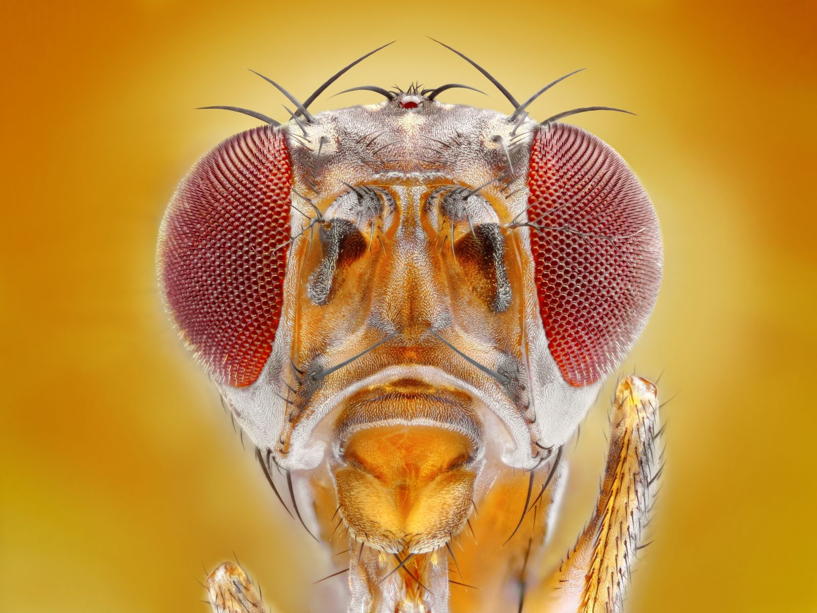 Close up of a fruit fly head.