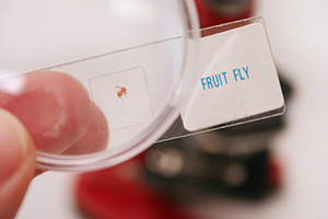 Fruit flies are small, gnat-like nuisance flies that hitch a ride into your house on produce.