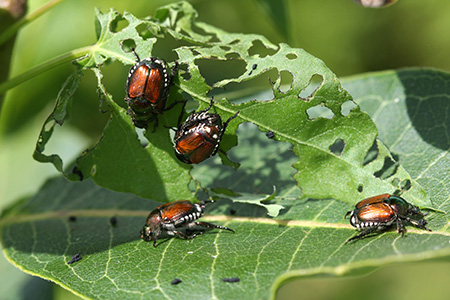 Japanese beetles do extensive damage to ornamental plants.
