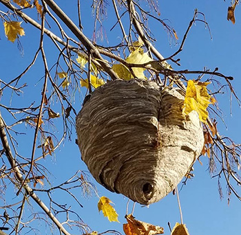 A bald-faced hornet nest was exposed when the autumn leaves dropped.