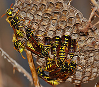 Paper wasps are generally docile; they will sting if the nest is disturbed.