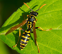 Paper wasps have slender, segmented bodies with a thin waist. Paper wasps also have orange-tipped antennae.