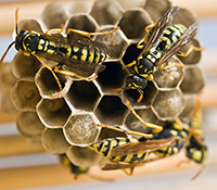 Paper wasp nests resemble an open honeycomb or upside-down umbrella.