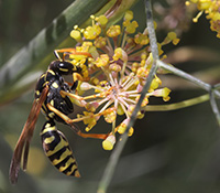 Paper wasps feed on damaged fruits and can be found on flowers looking for nectar.