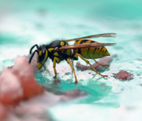 Yellowjackets scavenge for meat and sweet liquids, which brings them in frequent contact with humans.