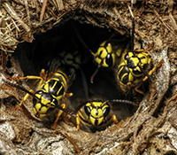 Yellowjacket nests have a single opening that is often hard to see because the nest is underground.