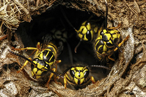 In temperatures above 90 degrees Fahrenheit, yellowjacket nests can double in size in one week.