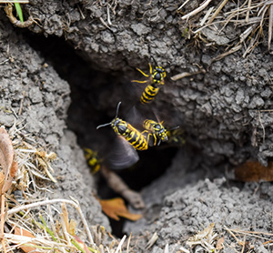 Yellowjackets frequently build their nests underground. It's easy to miss the entrance and accidentally disturb the nest, triggering a swarm attack.