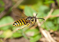 Yellowjackets tuck their legs under their bodies when they fly.