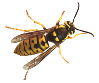 Yellowjackets are bright yellow and black. Their bodies are not fuzzy, so they're not able to collect pollen.