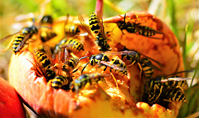 In fall, yellowjacket workers are in search of a sugar high for energy and will often go after sweet sodas and fermenting fruit.