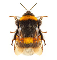Bumblebees are all fuzzy, with yellow stripes.