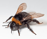 Female bumblebees can sting, and don't lose their stinger.