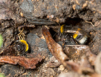 Bumblebees nest in the ground.