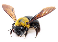 Male carpenter bees are aggressive, but only the females can sting.