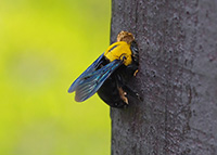 Carpenter bees bore into wood.