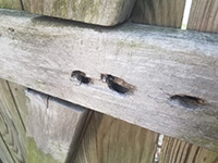 Carpenter bees are solitary and do not form colonies.