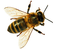 The 'yellow' on a honeybee's body is more of a golden brown or amber color. Their bodies are fuzzy, which allows them to capture pollen.