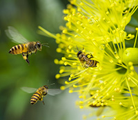 As prolific pollinators, honeybees are some of the most beneficial insects around.