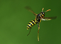 Paper wasps dangle their long legs when they fly.