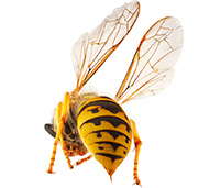 Yellowjackets sting unprovoked, and can sting multiple times without dying. They bite flesh to get a better grip, and then jab their stinger in.